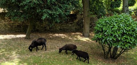 Les moutons d'Ouessant dans le parc de Notre-Dame du Grandchamp, juillet 2019